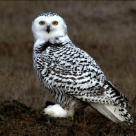 Jovem coruja-das-neves (Bubo scandiacus) na tundra do Alaska