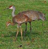 Grous-canadenses (Grus canadensis) na Florida